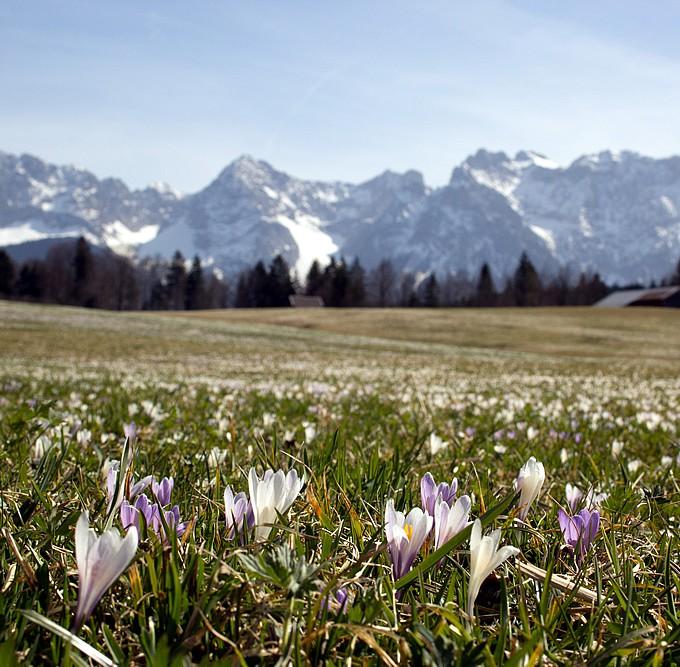 Frühling in der Alpenwelt Krokus